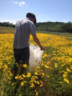 Harvesting Wild Lupine seed pods in a sea of Coreopsis at Wildflower Farm Wildflower Seeds, Seed Pods, Wildflowers, Shrubs, Bee, Yellow, Garden, Plants, Garten