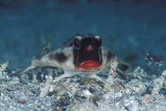 red_lipped_batfish_00G.jpg Photo:  This Photo was uploaded by myerst22. Find other red_lipped_batfish_00G.jpg pictures and photos or upload your own with...