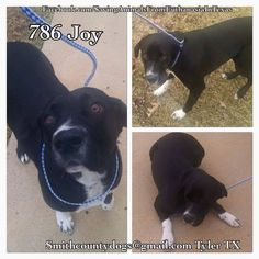 Saving Animals from Euthanasia in Texas Smith County Tyler TX  JOY, Cause# 786 Female, Black & White Lab Mix 2 years old, 60 lbs 12-03-14, no chip  TAG by *TUESDAY* DECEMBER 9th by 5 PM! Pickup will be *WEDNESDAY* DECEMBER 10th at 10:30 AM.  MUST BRING CRATES AT PICKUP OR WILL NOT BE RELEASED!!