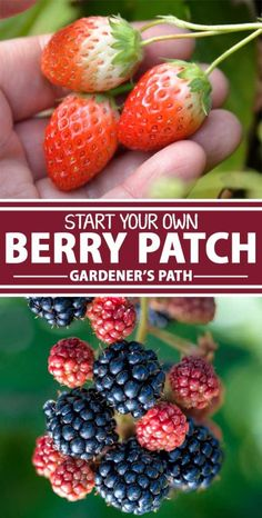 A collage of photos showing different types of berries growing inside of a garden patch. garden layout How to Grow Berries at Home Home Vegetable Garden, Fruit Garden, Edible Garden, Beginner Vegetable Garden, Gardening For Beginners, Gardening Tips, Organic Gardening, Container Gardening, Succulent Containers