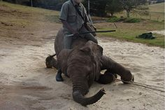 Help stop elephant torture. Tell South Africa's President Zuma that elephants in his country need his help. Sign and share 7/27/2014 --Shared to DESERT HEARTS Animal Compassion -  Phoenix, Arizona -- desertheartsphx  on Twitter and Instagram www.facebook.com/desertheartsphoenix