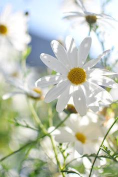 daisies in the meadows.....