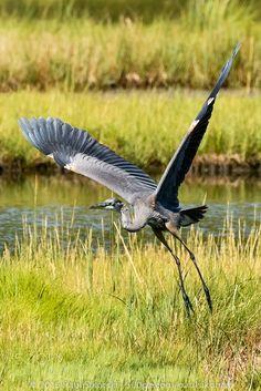 Great Blue Heron Liftoff