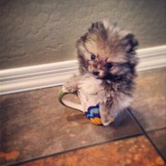 Teacup pomeranian puppy named Monte who makes me smile