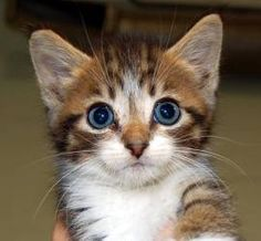 Manx kittens is an adoptable Manx Cat in Grove, OK. Three little Manx kitties....they don't know why their little tails are shorter than all the other little kittens. Watch out! One look at those big ...