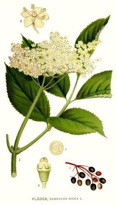 Sambucus nigra also known as Elder flower, seen on the John Muir Way, early July