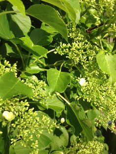 About six years ago we started climbing hydrangea on our chimney. It is now completely covered. Here comes the flowers.