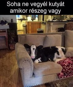 Y do they have a pet cow? Why did they let a cow in their house? Why is the cow on their furniture? Doesn't it smell? Can u give a cow a bath? Cute Funny Animals, Funny Animal Pictures, Funny Cute, Cute Pictures, Hilarious, Random Pictures, Funny Kids, Top Funny, Funny Happy