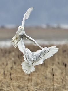 Snowy Skirmish by Duke Coonrad Kinds Of Birds, Love Birds, Beautiful Owl, Animals Beautiful, Simply Beautiful, Owl Bird, Pet Birds, Owl Pictures, Snowy Owl