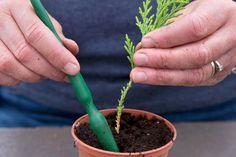 ihličnany - Takto si ich ľahko a lacno vypestujete doma Conifer Plants, Conifer Trees, Garden Plants, Growing Tree, Growing Plants, Gardening For Beginners, Gardening Tips, Chlorophytum, Edible Garden