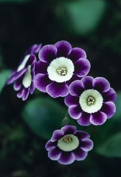 Purple and white primula auricula