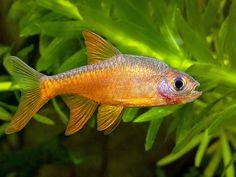 Rasboroides vaterifloris (3) | Flickr - Photo Sharing!