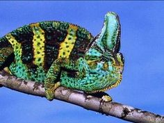 "VIDEO ~ On Animal Planet's series ""Fooled by Nature,"" chameleons are cold-blooded lizards that can change colors according to their mood. They expand and retract color cells located on their skin which provide an array of colors."