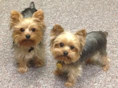 I get to work with these two adorable yorkies everyday.  They really are BFFs