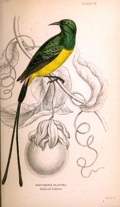 nectarinia platura      ...