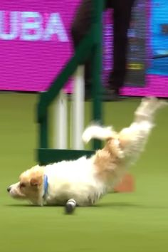 Jack Russell Has Epically Bad Dog Show Performance, Gives Zero F*cks