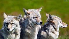 trzy wilki