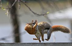 """Hang On, We're Moving!"" ~ Rare photo of mama squirrel moving her baby to a new home."