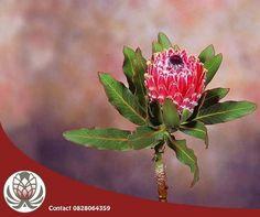 This stunning Protea Barbigera is perfect for corporate flower arrangements. Contact Bofberg Flowers and we will gladly assist you with these beautiful proteas. Corporate Flowers, Be Perfect, Flower Arrangements, Plants, Beautiful, Modern, Products, Floral Arrangements, Trendy Tree