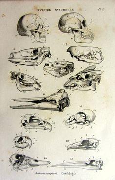 Strange antique original french animal skulls by LyraNebulaPrints, $23.95
