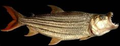 Learn all about tigerfishing on the Zambezi River's Caprivi strip Information About Fish, African Tiger, Tiger Fish, Peacock Bass, Fishing Techniques, Types Of Fish, Prehistoric Animals, Gone Fishing, River