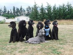 Oodles of poodles... | BEST VIEWED LARGE - Another shot of s… | Flickr