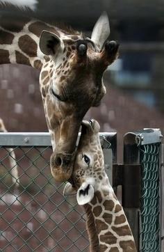 Giraffes seem so loving with their babies.