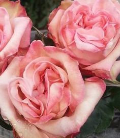 Quality Flowers Club - Receive 400 Fresh Cut Roses for $99.99 - Farm Direct - Free FedEx Shipping To Your Door. #brides #roses #flowers #florist #wedding_planner #weddings #events #groom #centerpieces #floral_arrangements #fresh_flowers