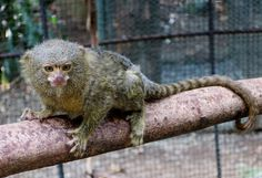 El Refugio's Titi Leon carefully maintaining its balance! Pygmy Marmoset, Shelter, Wildlife, Animals, Shelters, Pets, Animales, Animaux, Animal