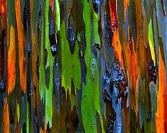 Image result for rainbow eucalyptus nz