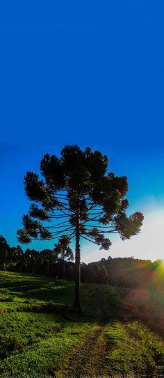 Araucaria Tree, Paraná, Brazil