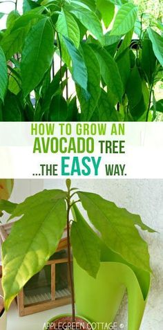 How to Grow an Avocado Tree – The Easy Way How to grow an avocado tree – this tutorial shows you the easiest way to grow an avocado plant. I wanted to see if a totally 'lazy' way of growing an avocado tree would work, too. Check it out here. Avocado Dessert, Growing Avacado Tree, Growing Avocado Seed, Avocado Tree Care, Avocado Toast, Container Gardening, Gardening Tips, Indoor Gardening, Diy Gifts For Kids
