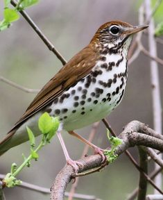 The song of the Wood Thrush is heaven to my ears.... when I was a child we called them rain birds because they sing loudest before a thunderstorm.