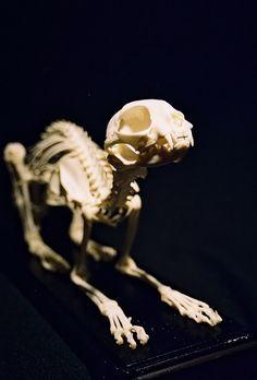 Cat Skeletons
