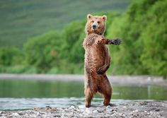 Enjoy The Show Called Bears Play The Role Of Human | flipopular