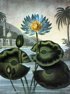 This illustration of Nymphaea caerulea, also known as the Blue Egyptian Water Lily, was painted by Peter Henderson.