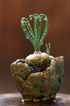 Albuca namaquensis....I would love one but where would I find it?  I know it is a bulb.