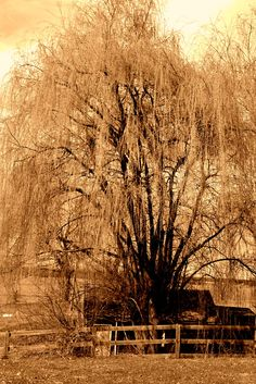 Vintage looking Weeping Willow