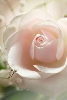 "flowersgardenlove: ""Soft pink rose Beautiful """
