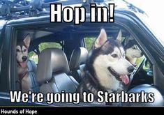 Who wants coffee? Funny Husky Meme, Funny Animal Memes, Funny Dogs, Cute Dogs, Funny Animals, Husky Humor, Siberian Husky Funny, Siberian Huskies, Dog Jokes