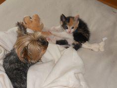 Anouchka veille sur Gaïa bébichou #chat #cat #chien #yorkshire #chambredhote #bandb #cute #mignon #tarn #castelnaudemontmiral #gaillac http://lamaisonduchai.com/accueil.html