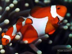 anemonefish clownfish orange anemone underwater photography