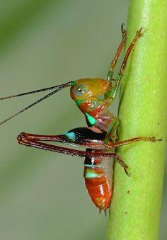 Paraxiphidium versicolor - Colombian Amazon by Arthur Anker
