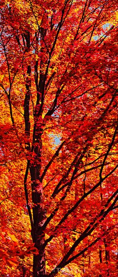 Red Maple  - A vibrant red maple in the peak of fall color. Crandon, Wisconsin, USA