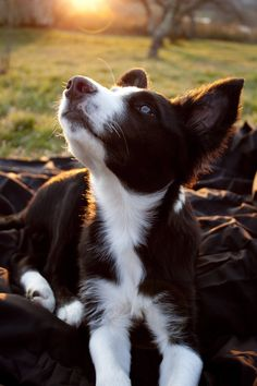 Red Border Collie In the Sun