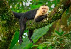 Chilling Capuchin Monkey by Don  Hamilton Jr. on 500px