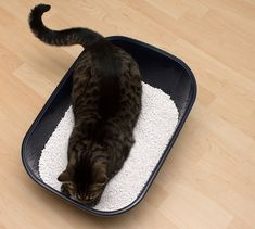 XL Cat Toilet for Maine Coon Cat Extra Large Cat Toilet for Maine Cat Toilet, Maine Coon Cats, Cat Lover, Usa, Pets, Cat Behavior, Cat Art, Animals And Pets, U.s. States
