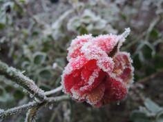 Een winterse roos in de Klopvaartbuurt in #Overvecht (foto: Olivier Beens)