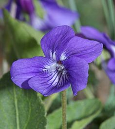 """Viola adunca """"Western Dog Violet""""petite 4"""" high & 12"""" wide For those on the Northern CA, OR & WA coasts, it's a key larval host plant for the threatened Oregon Silverspot Butterfly. Rich well drained soil."""
