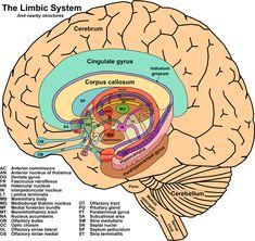 The Limbic System - manages memory and emotions - Le système limbique, gère la mémoire et les émotions